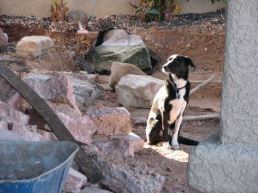 Jax the dog who specializes in landscaping.  He thinks he's human and can do anything his master does.
